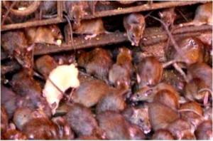 20le rat blanc porte bonheur du temple de DURGA EN iNDE